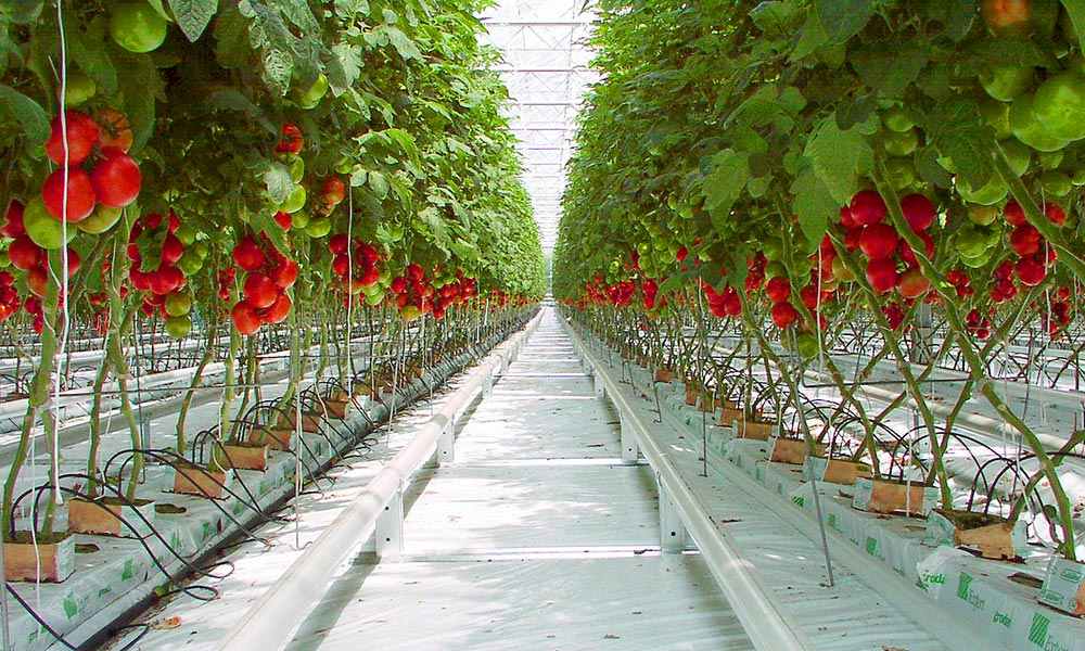 Drip irrigation in a German greenhouse. This method is by no means restricted to the indoors—many fields use drip irrigation, too. Photo from Wikimedia.